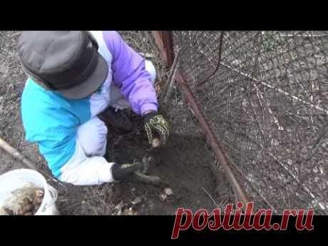 051 Сбор и посадка топинамбура земляной груши