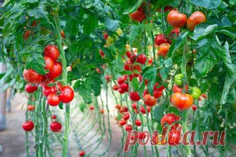Чем подкармливать томаты: безопасные народные рецепты  Добрый день, мой читатель. Химические препараты не всегда приносят пользу, они могут накапливаться в виде нитратов, пестицидов и гербицидов. Чтобы обезопасить урожай, можно попробовать воспользоваться народными средствами. Полностью отказываться от минеральных подкормок не стоит, так как грунт с годами истощается, и в итоге урожая можно не ждать вовсе.