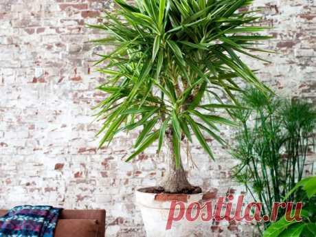 Комнатная юкка — менее капризная альтернатива пальмам. Уход в домашних условиях. Фото — Ботаничка.ru