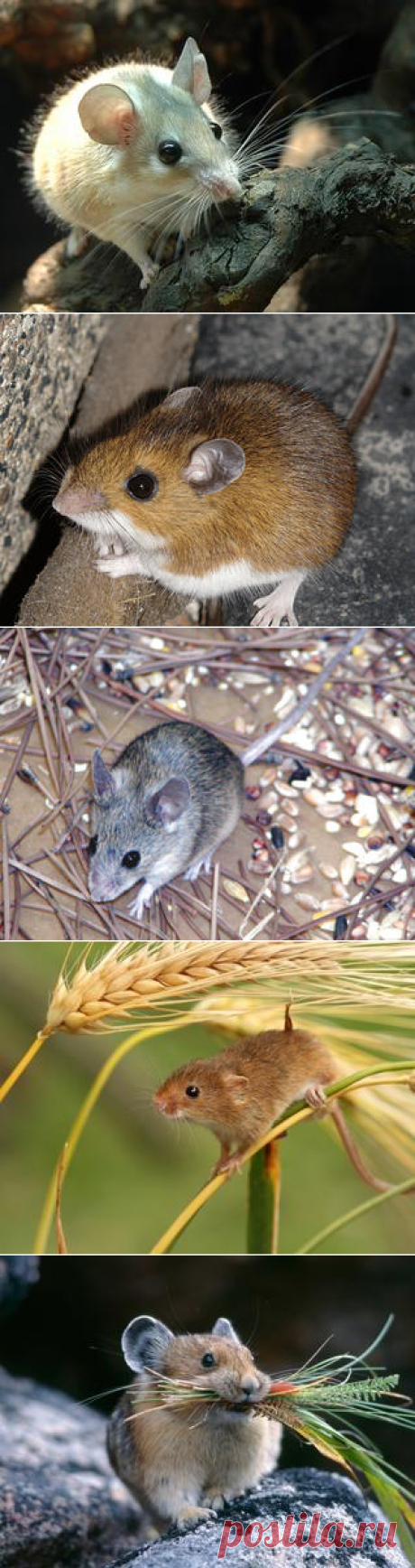 Смотреть изображения мышей | Зооляндия