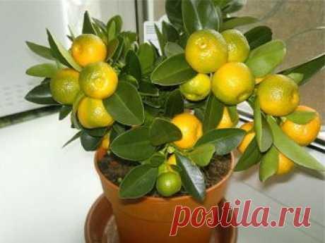 Как посадить дерево мандарина в домашних условиях