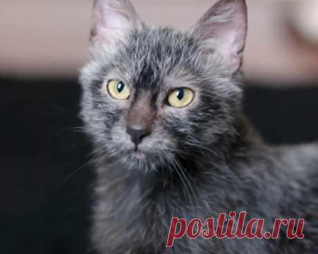Ликой - ласковые, добрые, очень дружелюбные коты и кошки, которые обожают проводить время со своими любимыми людьми.
