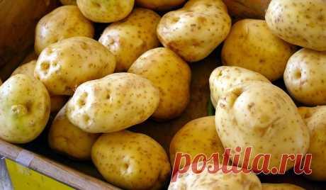 Лучшие сорта картофеля: описание, фото, отзывы, характеристика и вкусовые качества Картофель давно стал главным продуктом на наших столах. И многие дачники выращивают его на своих огородах. Но не всегда довольны – иногда сорта не радуют. Давайте выясним, какие из них самые лучшие