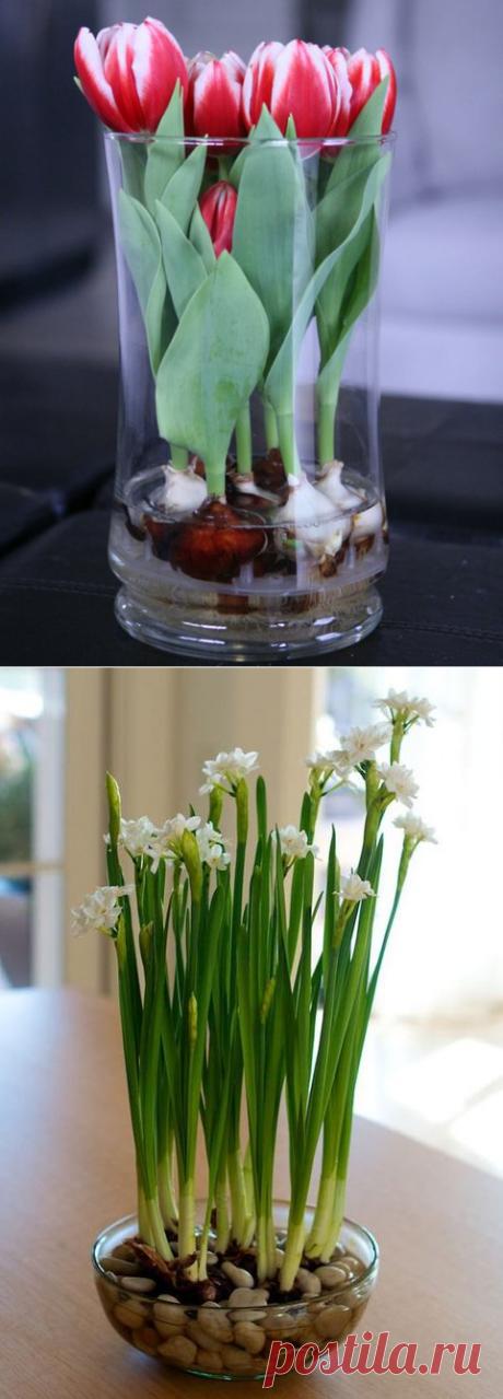 Выращиваем тюльпаны и нарциссы в домашних вазах