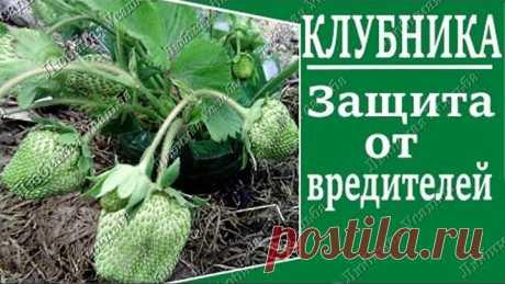 Урожай клубники. Самый простой способ спасти ягоды от вредителей.