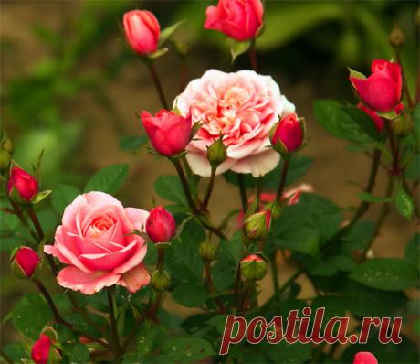 Готовим розы к зиме – 13 полезных советов для начинающих цветоводов!
