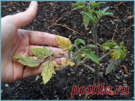 Пожелтели и стали чернеть стволы томатов. ЧТО ДЕЛАТЬ? — 6 соток