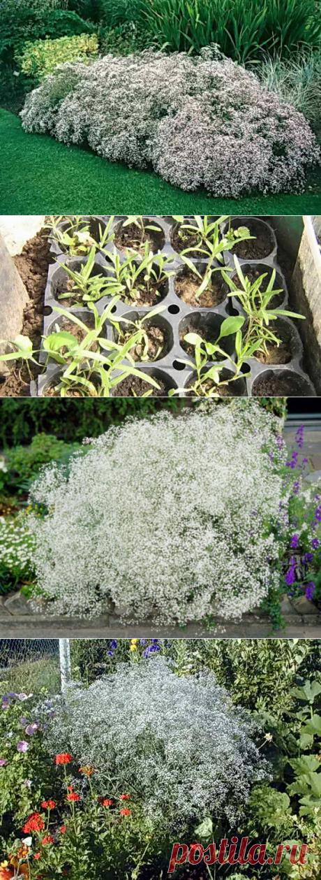 Гипсофила для сада, посадка, уход в открытом грунте, черенкование | Дача - впрок