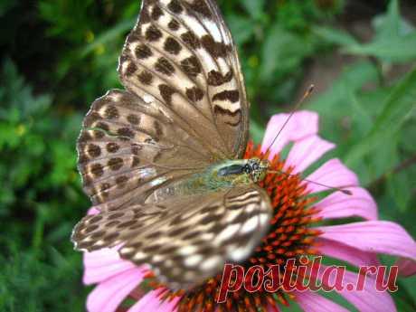Рудбекия с бабочкой