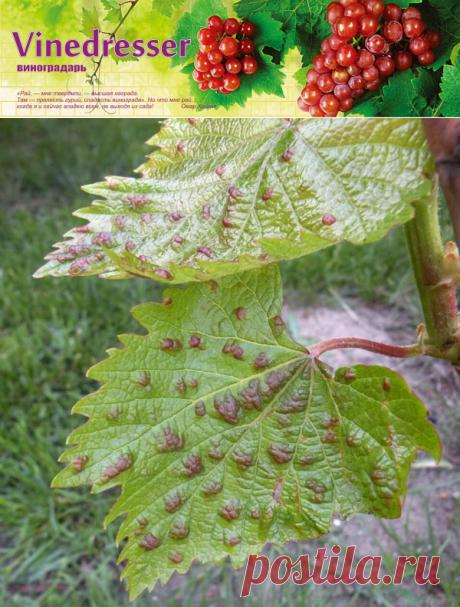 Войлочный виноградный галловый клещ (зудень)
