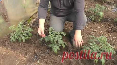 Высадка томатов - легко, просто и урожайно! Что положить в лунку !