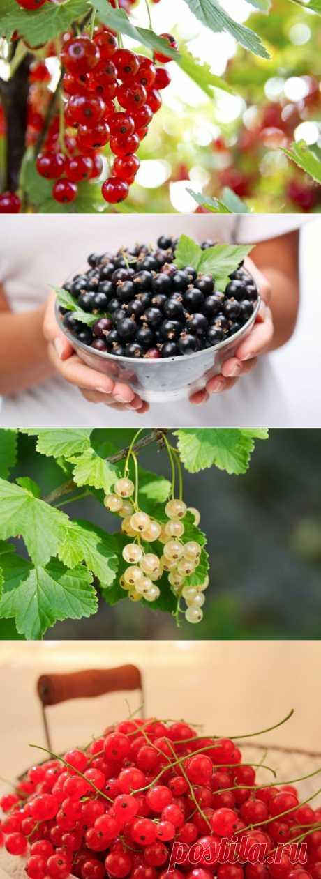 Чтобы смородина была сладкой: правильное удобрение | Огород без хлопот