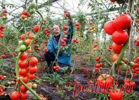 Когда необходима подкормка томатов йодом?   Каждый огородник стремится получить хороший урожай со своего участка и при этом свести минимум использование химических препаратов. Подкормка томатов йодом сегодня становится все более популярной. Если прислушиваться мнения специалистов, то йод не наносит вреда ни человеку, ни выращиваемой культуре. Чтобы получить максимальный результат от таких подкормок, необходимо разобраться детальнее и выяснить кода и как использовать йод дл...