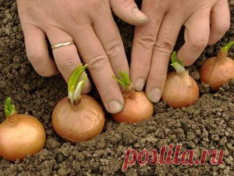Когда и как сажать лук севок в открытый грунт весной на головку, чтобы были крупные луковицы