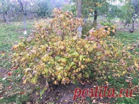 Листья смородины обрывают сразу после сбора урожая — чтобы на следующий год собрать не кружку ягод, а полведра с куста | Маленький сад на краю Вселенной | Яндекс Дзен