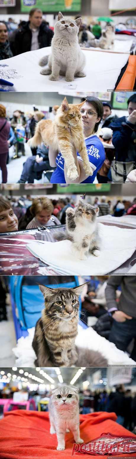 (+1) тема - Международная выставка кошек. Кэтсбург 2014 | ЛЮБИМЫЕ ФОТО