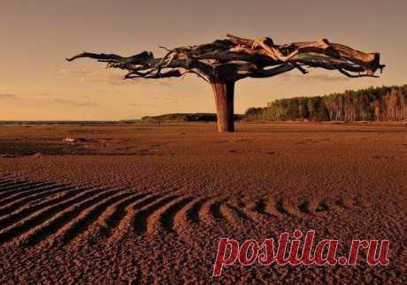 Это необычное чудо-дерево находится в верховье реки Камы. А необычного в нем то, что оно вкопано в песок корнями вверх, размах которых составляет 5-6 метров.