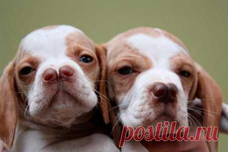 Редчайшие собаки: 10 малораспространенных охотничьих, пастушьих и ездовых пород