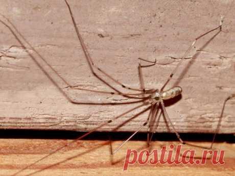 Паук-сенокосец, или паук-долгоножка