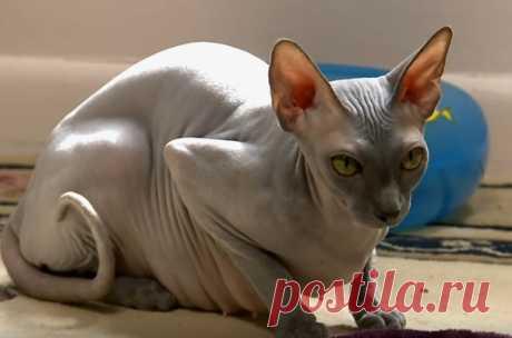 Сфинкс кошка - виды, фото, особенности породы, содержание и уход, характер