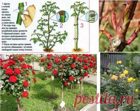 Как привить розу на шиповник - Садоводка
