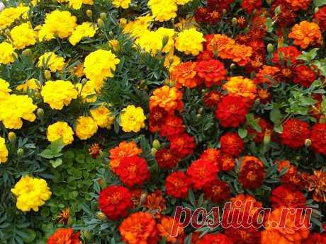 Цветы в борьбе с вредителями — Чудеса