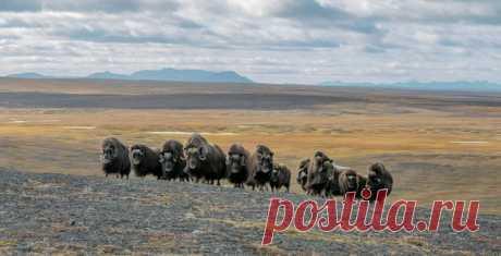 Стадо овцебыков в предгорьях Бырранга, Восточный Таймыр. Снимал Виталий Горшков: nat-geo.ru/community/user/30537