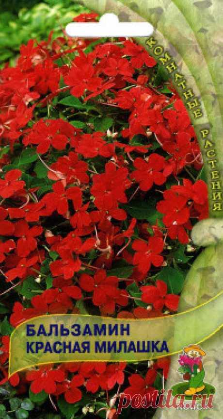 """Семена """"Бальзамин. Красная милашка"""", (вес: 0,1 г) Великолепный универсальный сорт прекрасно цветет в интерьерах круглый год и на клумбах летом. Компактный куст с густой листвой, высотой до 20 см. Цветы красные. Цветет очень обильно. Превосходно подходит для оформления подоконников и балконов, используют для клумб, рабаток. Агротехника..."""
