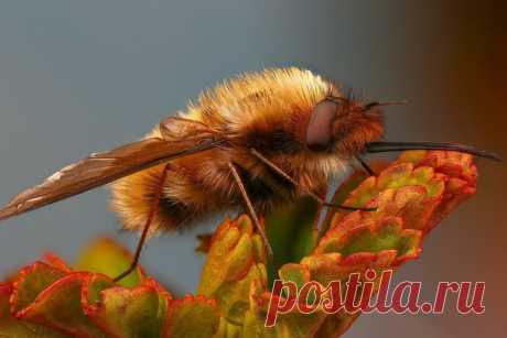 Глядите, пушистенький жужжало прилетел в вашу ленту. Маскируется под шмеля, но мы-то знаем, что это муха! Автор фото – Андрей Шаповалов: nat-geo.ru/community/user/209547/.
