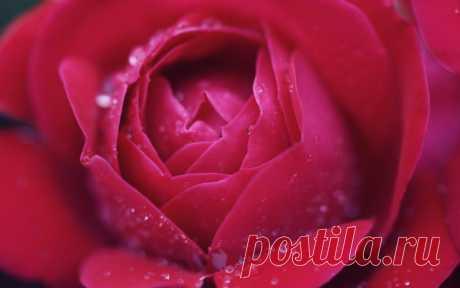 Обои на рабочий стол Цветы:Цветок, Роза, Макро, Розовая - скачать бесплатно.   Обои-на-стол.com