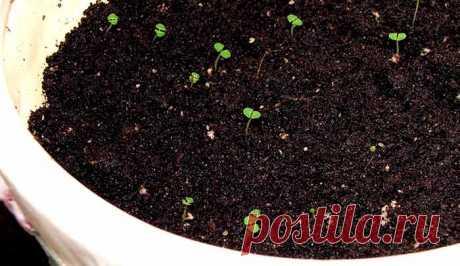 Вырастить мяту в домашних условиях из семян