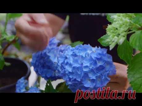 Cómo potenciar el color de las flores de las hortensias - Bricomanía - Jardinatis