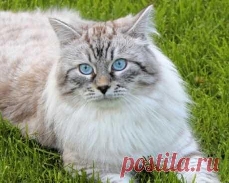 Невская маскарадная кошка - это очень красивые и сильные кошки, которые прекрасно относятся к людям и подарят радость всей семье.