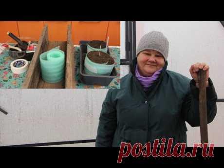 Посев Томатов в Улитку Под Зиму. Часть 2. - YouTube