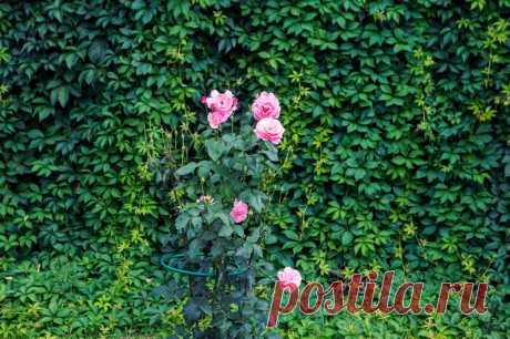 Плетистая роза – уход осенью | О Фазенде. Загородная жизнь | Яндекс Дзен