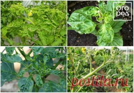 Почему у помидоров и перца скручиваются листья и что нужно делать | Томаты (Огород.ru)