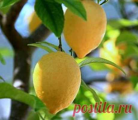 Домашний лимон | Дачная жизнь - сад, огород, дача