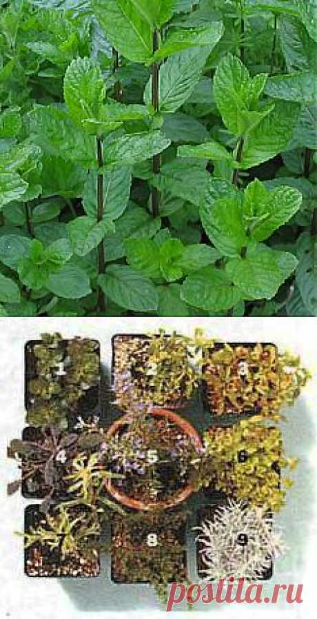 Огород на кухне: свежесть душистых трав!   ШПИЛЬКИ