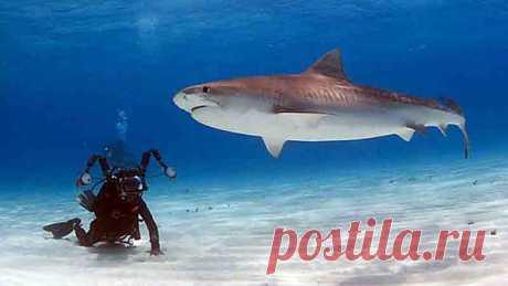 Есть ли акулы в Чёрном море?Акулы в Чёрном море есть, но это не повод отказываться от поездок к любимому побережью. Черноморские хищники представляют угрозу исключительно для морской фауны – человек им совершенно неинтересен.