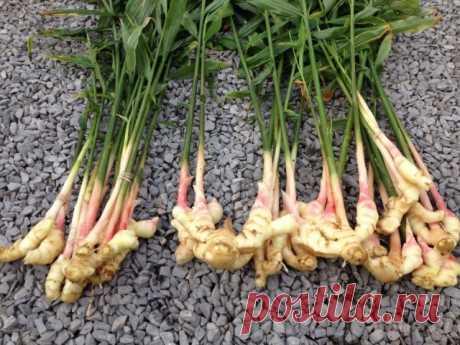 Как вырастить имбирь на даче – все о посадке, уходе и хранении | Другие растения (Огород.ru)