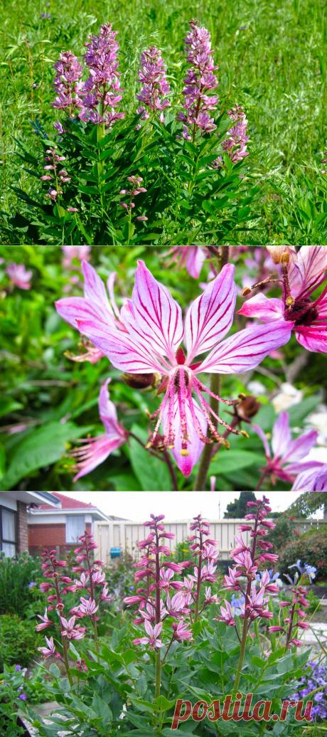 Ясенец: посадка и уход в открытом грунте, виды и сорта, фото