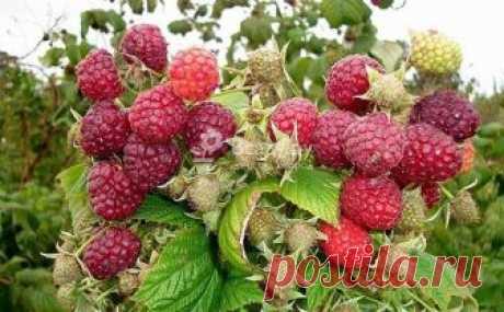 Правила выращивания малины: посадка, обрезка, уход Как ухаживать за малиной, чтобы добиться максимальной урожайности. На каком расстоянии посадить малину, как обрезать кусты, чем удобрять, обрабатывать