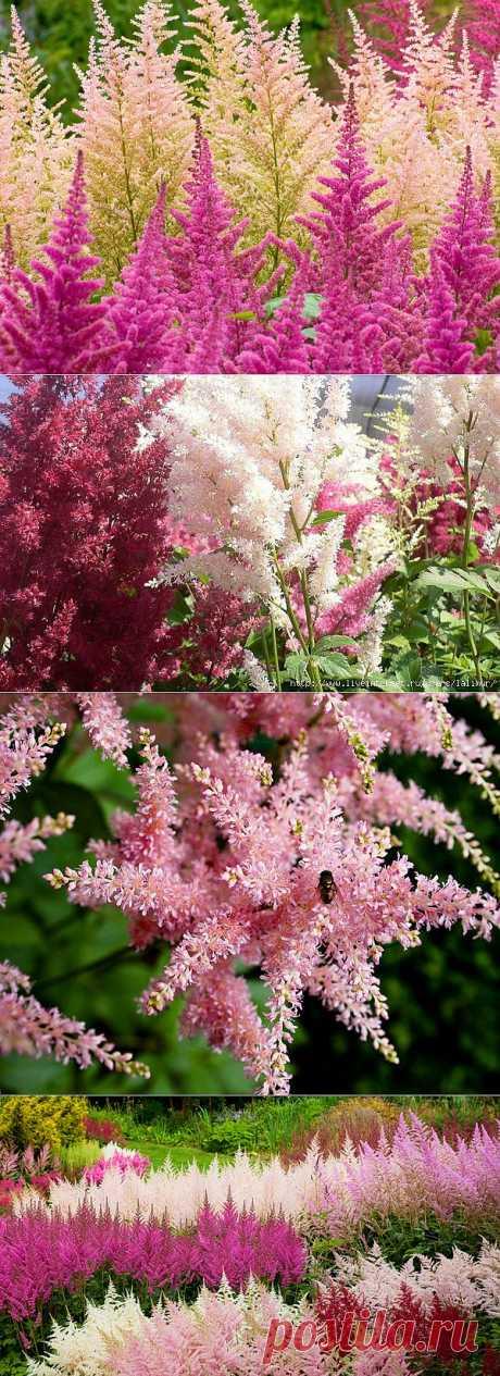 Пушистые метелки - астильба - украшение сада.