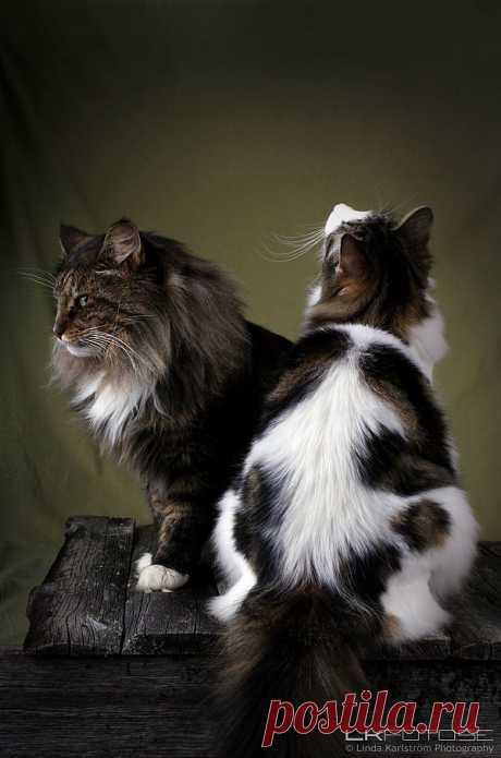 Norwegian Forest Cat - Bing Изображения