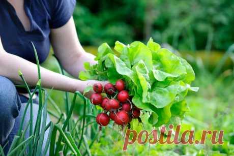 Грядки в Сибири: как собрать за один сезон три урожая