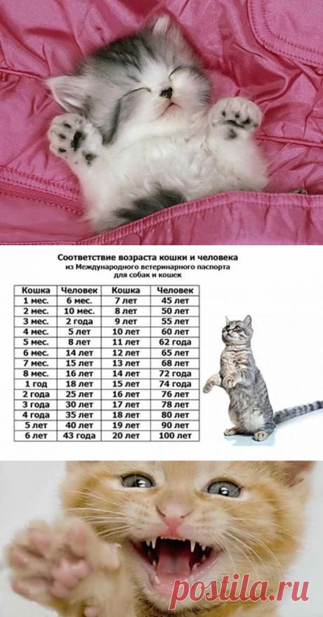 Возраст кошки по человеческим меркам, сравнение с человеком