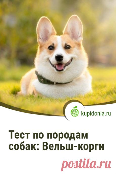 Тест по породам собак: Вельш-корги. Интересный тест по породе собак Вельш-корги. Проверьте свои знания!