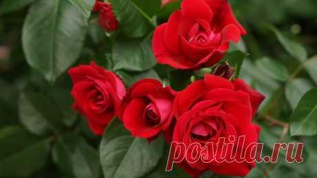Подкормка и полив для Розы, чтоб долго цвела | Идеи для дома и окружения | Яндекс Дзен