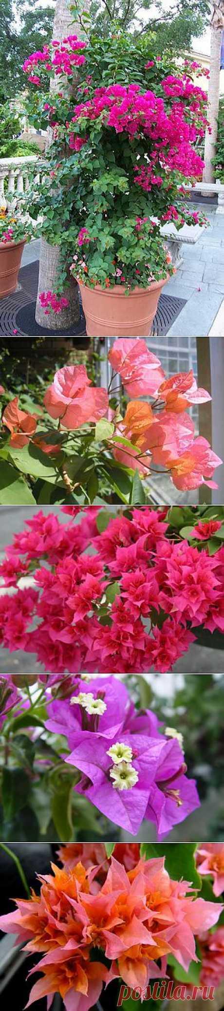 Цветок бугенвилия комнатная и для сада: фото, описание и уход. Все сорта бугенвилии - Александра, Элизабет и другие.