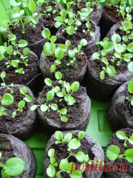 ❶ Как пикировать лобелию 👍 ★★★ Лобелия эринус (Lobelia erinus) — многолетнее растение с мелкими листьями и цветками диаметром до 2 см, выращивается как однолетнее.